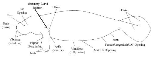 Manatee External Features