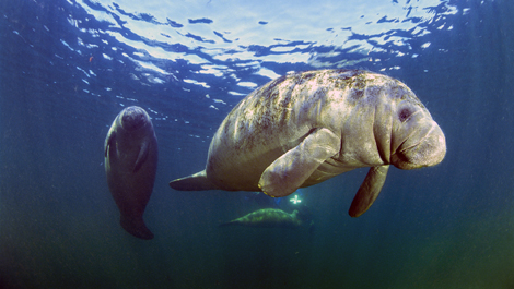 Manatee with calf