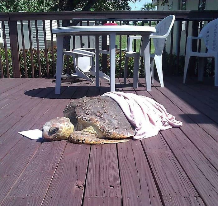 A stranded sea turtle on a deck.