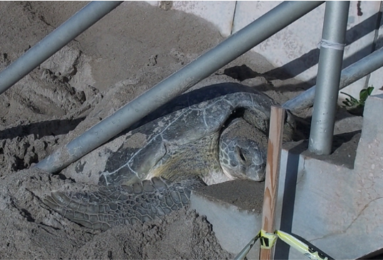 A stranded sea turtle stuck under stairs.