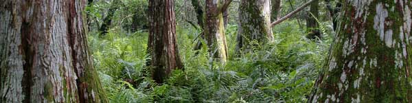 cypress trees and ferns in a natural area