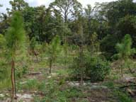 Native trees replanted after exotic removal