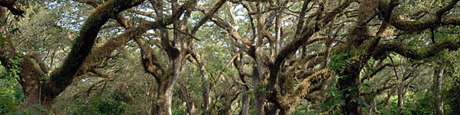 Live oak tree canopies