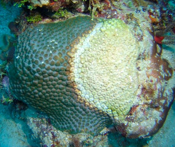 giant star coral with disease