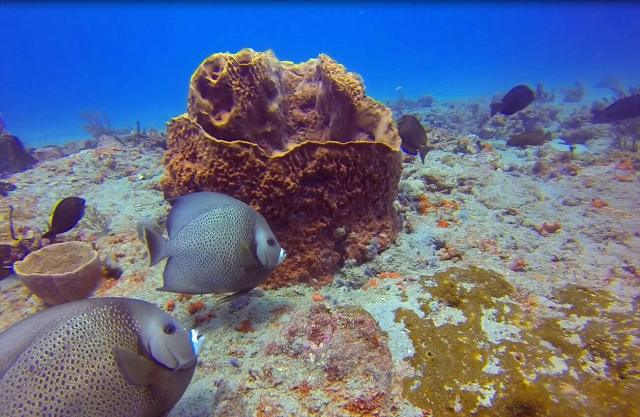 Angelfish with barrel sponge
